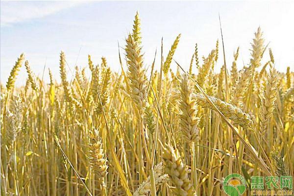 亚博竞彩APP官网_今日小麦多少钱一斤?5月5日全国小麦价格