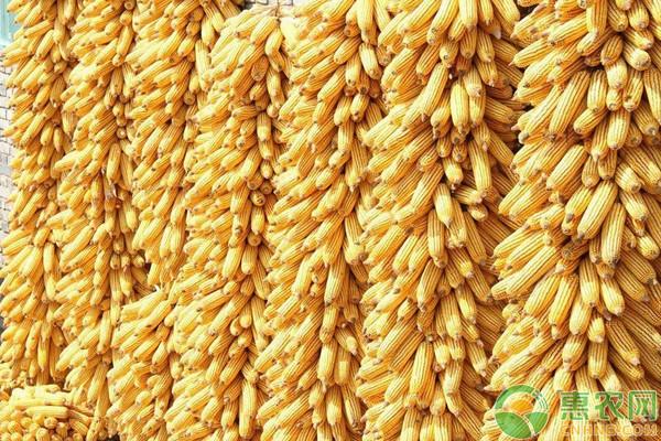 玉米多少钱一斤?5月5日全国玉米价格行情分析