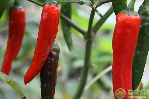 今日辣椒收购价格如何?5月5日辣椒主产区市场收购价格