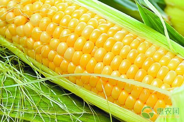 亚博竞彩APP官网_今日玉米多少钱一斤?5月6日全国玉米价格