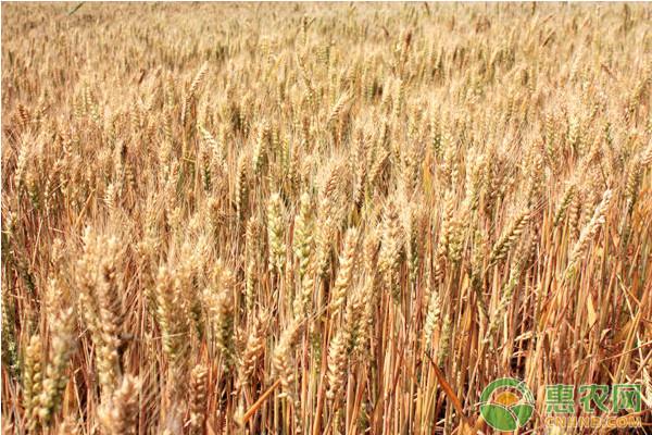 亚博竞彩APP官网_今日小麦价格多少钱一斤?5月7日全国小麦