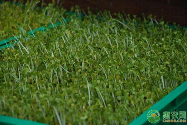 芽苗菜种植
