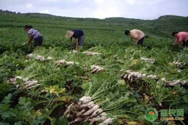 桑植萝卜:湖南省桑植县特色农产品桑植萝卜图文介绍