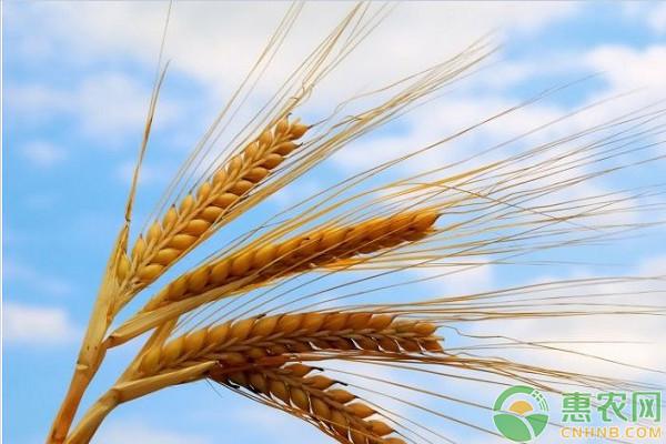 德甲联赛外围竞猜_今日小麦价格多少钱一斤?5月11日国内小