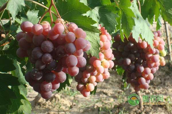 夏季葡萄怎么管理?露地葡萄和大棚葡萄夏季管理技术