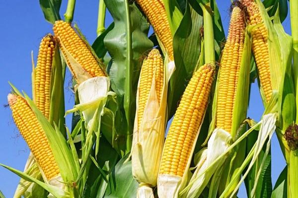 2018年玉米、水稻、小麦等作物国家种植补贴汇总