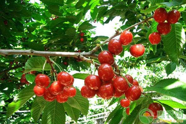 樱桃怎么种植?樱桃丰产高效无公害栽培技术