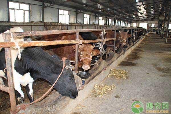 肉牛如何快速育肥?肉牛舍饲育肥的几个阶段