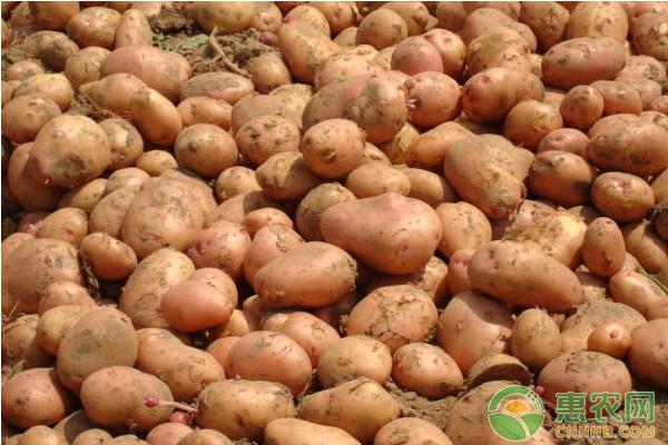 浅谈马铃薯高效栽培技术要点(内附病虫害防治)
