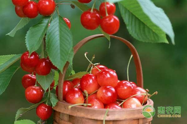 起垄栽培对甜樱桃有哪些影响?甜樱桃起垄栽培技术