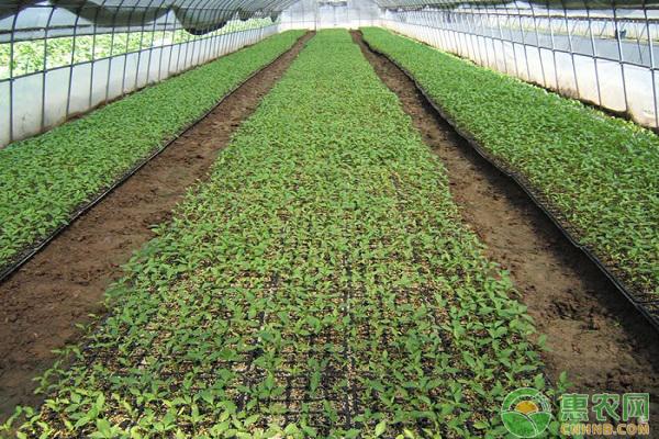 番茄怎么育苗?北方地区番茄穴盘育苗技术详解