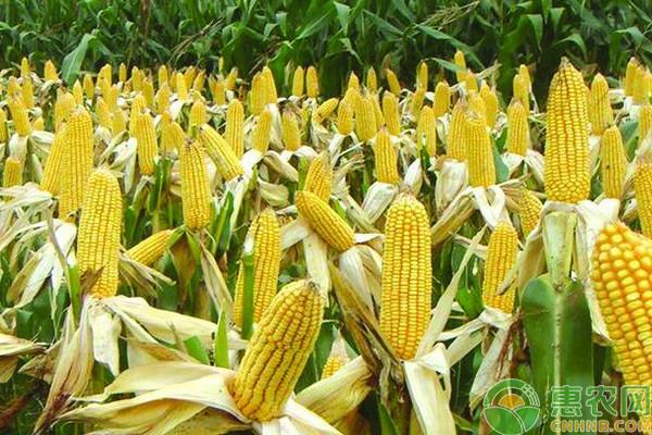 富硒玉米高效丰产栽培管理技术