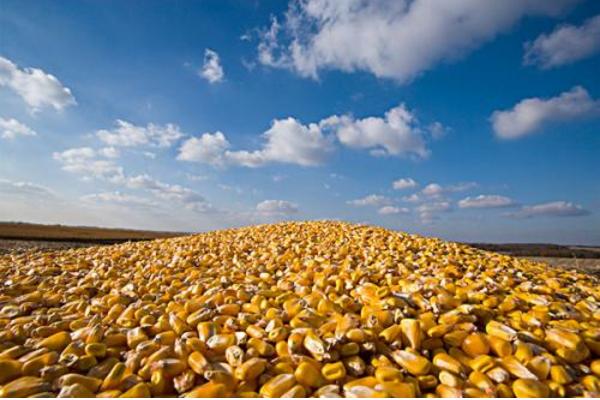 玉米期货七连阳 原粮价格企稳回暖