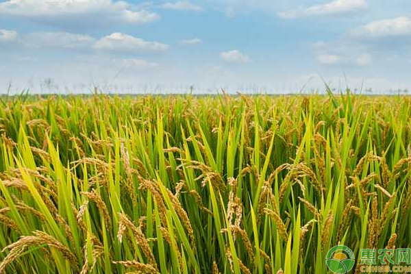 有机水稻怎么栽培?有机水稻的栽培管理技巧