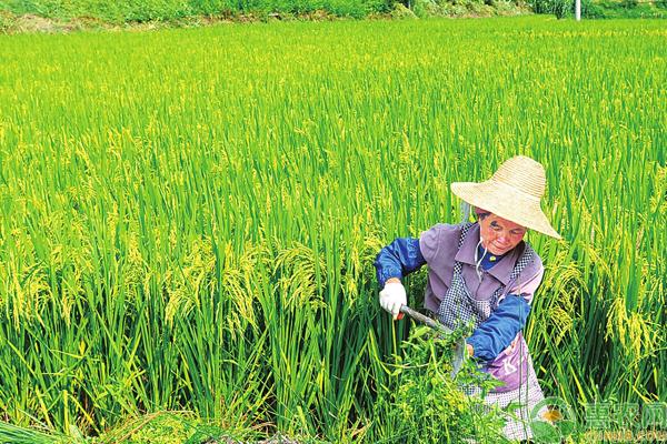 有机水稻怎么栽培?