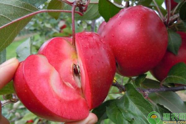 红色果肉的苹果