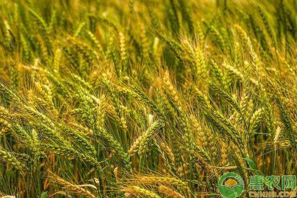 今日小麦价格多少钱一斤?5月17日全国小麦价格行情汇总