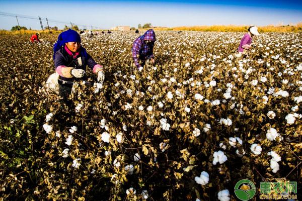 2018年棉花一亩补贴多少钱?(附补贴发放事项)