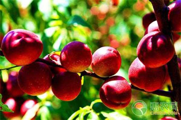 今日油桃收购价格如何?5月17日油桃主产区市场收购价格