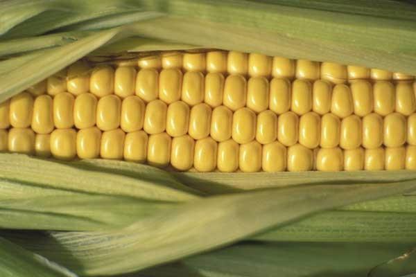 5月20日玉米价格行情:今年上秋玉米行情看好