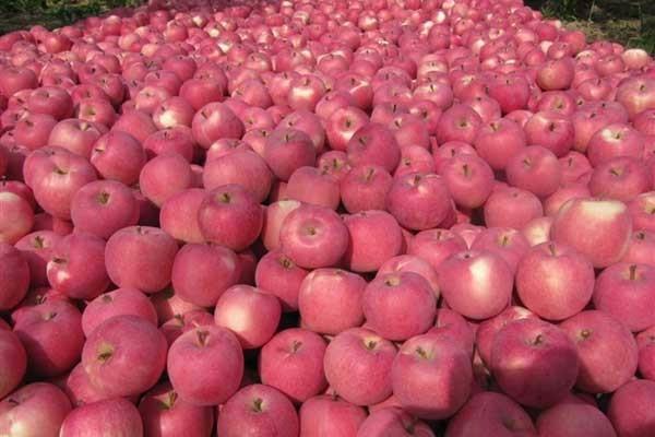 5月23日苹果市场行情:市场苹果销量逐步转淡,占比逐渐减小