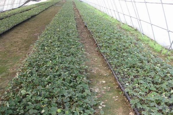 面对大范围降雨来袭,草莓育苗该做好哪些应对措施?