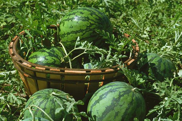 西瓜种植如何延长收获期?西瓜秋收延迟栽培技术