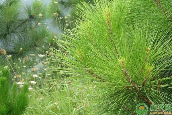 农村山里常见的野生植物,营养价值极高,竟还有神奇的减肥功效!