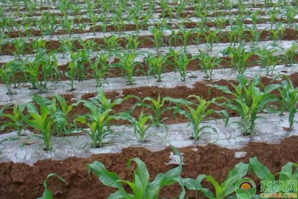 浅谈玉米栽培新技术