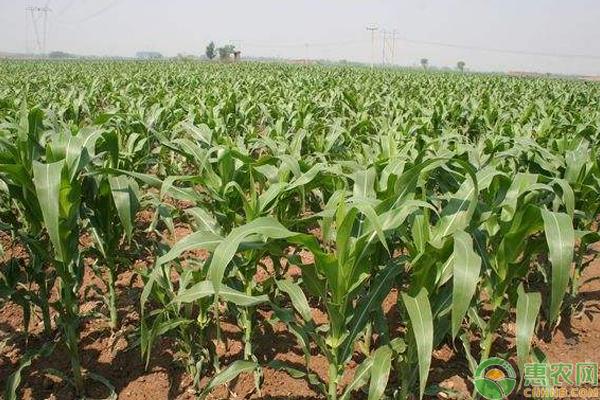 浅谈玉米栽培新技术与病虫害防治技巧