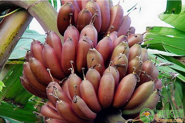 这种水果一生只开花结果一次,与众不同的外表让它更受欢迎!