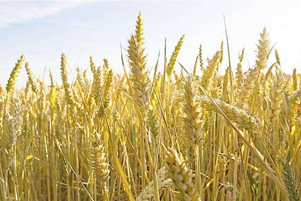 小麦价格多少钱一斤?5月26日小麦价格行情