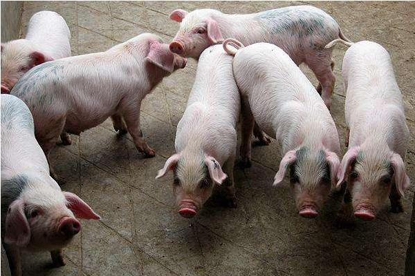 今日生猪价格多少钱一斤?5月26日全国生猪价格走势分析