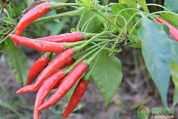 辣椒收购价格如何?5月28日辣椒主产区市场收购价格