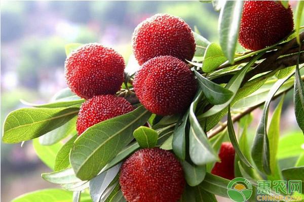 """农村这种""""仙人果"""",正是当季时节,酸酸甜甜,很多人都爱吃!"""