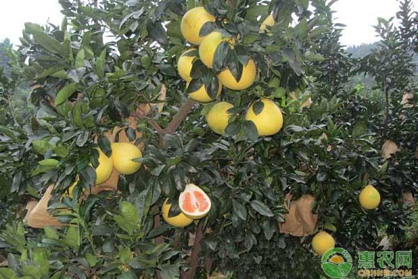 蜜柚钻木怎么培育?蜜柚树钻木嫁接技术详解