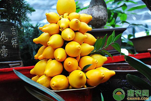 """这种植物浑身挂满了""""黄金果"""",堪称植物界的土豪"""