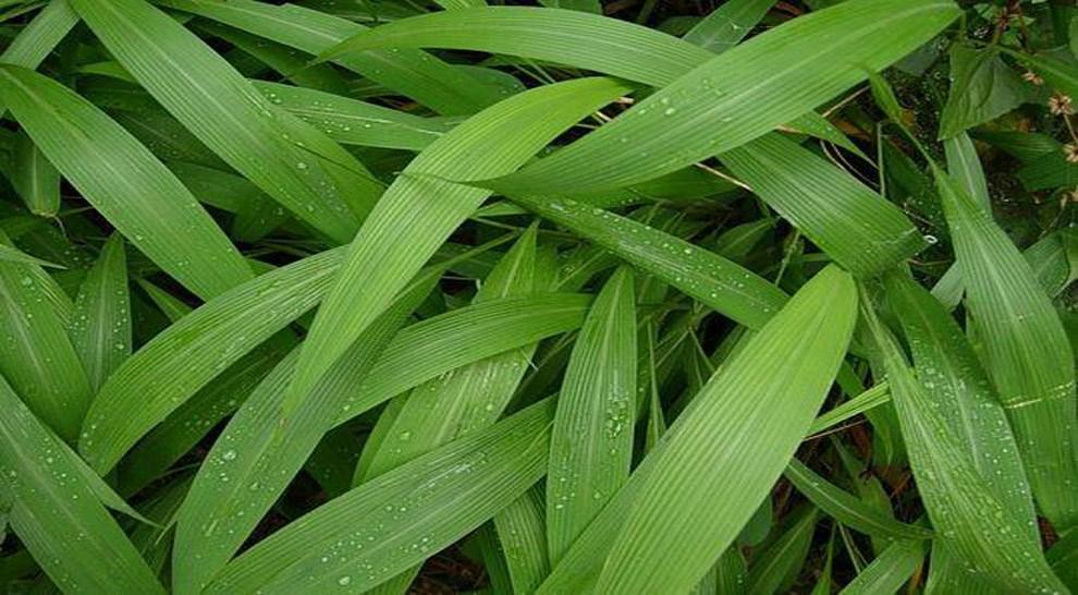 这山间野草可做凉茶,也可入药,能连续收获数年,开发潜力巨大