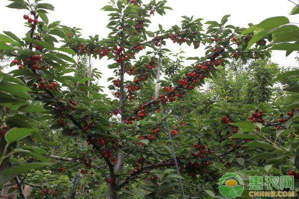 改良(黄)纺锤形甜樱桃整形模式介绍
