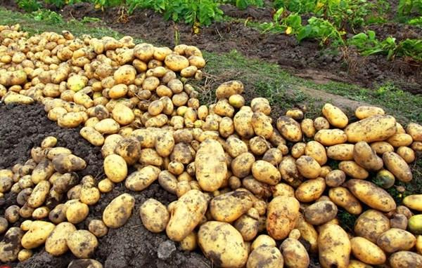 土豆多少钱一斤?6月14日土豆主产区收购价格行情