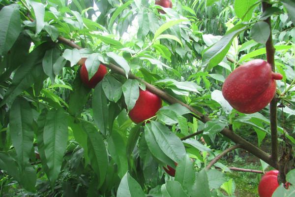 油桃价格是多少钱一斤?6月14日各地市场油桃最新报价