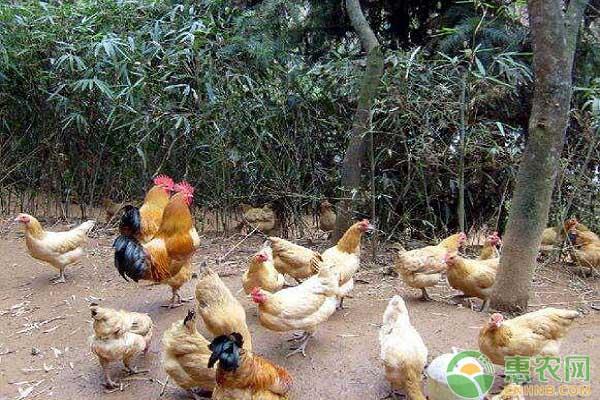 肉禽日评:鸡价止跌震荡 苗价继续回落