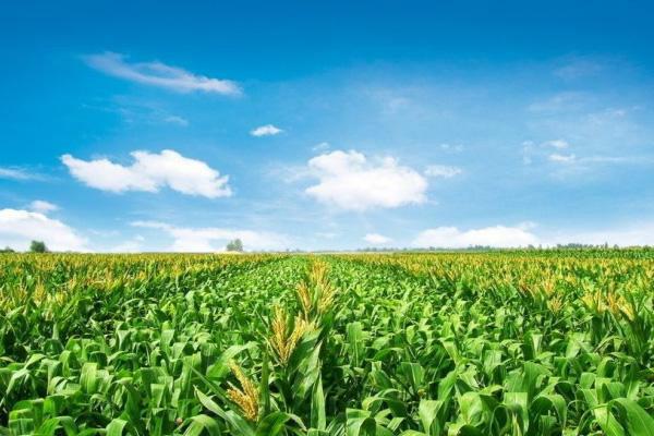 玉米价格北涨南跌?2018年端午节玉米价格最新行情
