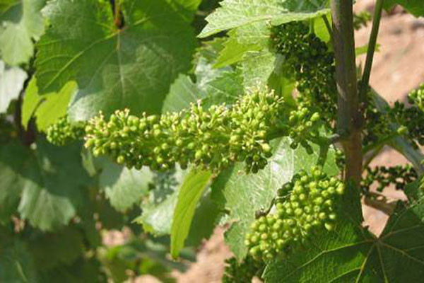 葡萄花期怎么管理?日光温室葡萄花期管理技术要点