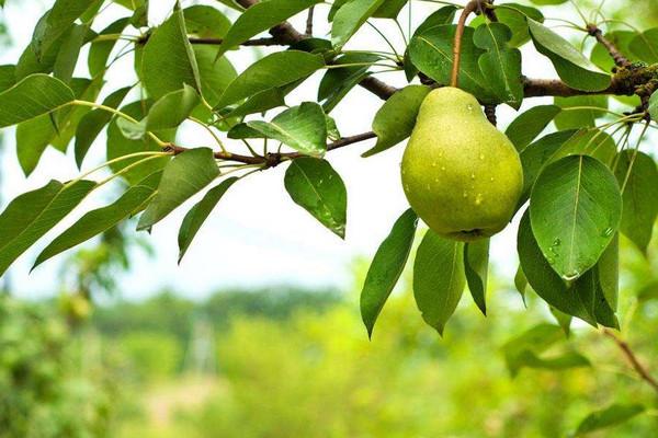 梨树优质高效生态栽培技术