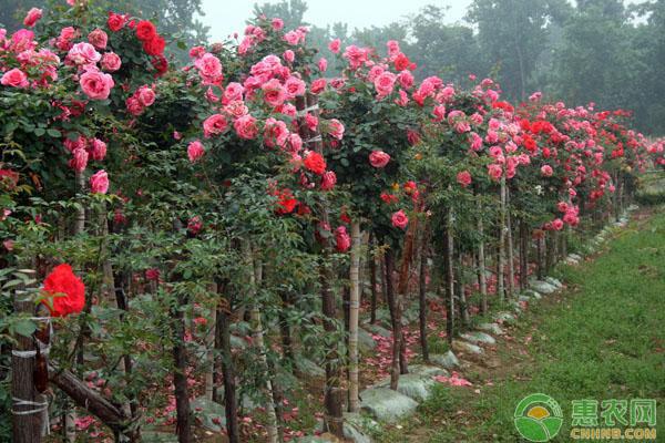 月季树怎么嫁接?月季树(树状月季)的嫁接与养护