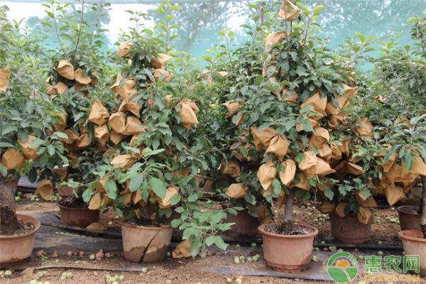 如何盆栽果树?几种常见果树的盆栽要点介绍
