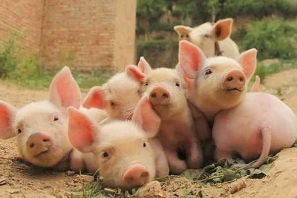 6月23日全国生猪价格行情:跌势减缓,期待月底能反弹