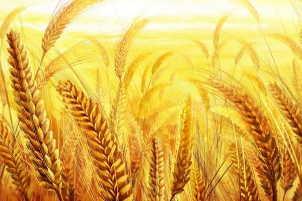 今日小麦多少钱一斤?6月23日全国小麦价格行情