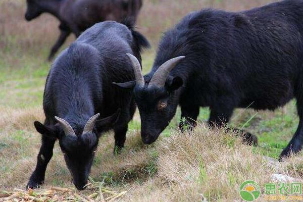 黑山羊高效益养殖管理技术